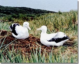 Albatross on South Georgia